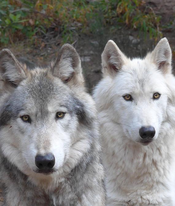Petite Encyclopédie Du Loup Parc Animalier Les Loups Du